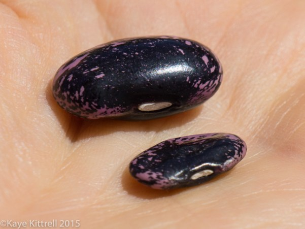 Supreme Scarlet Runner Beans - seed size