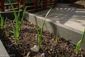 Growing Garlic – Here we go again!