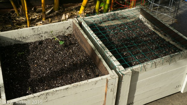 Planting seeds in El Nino - containers