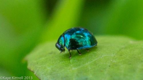 Biodiversity Double Whammy - lady beetle