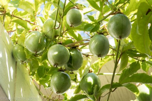 plant flowers, attract beneficial insects - passion fruit