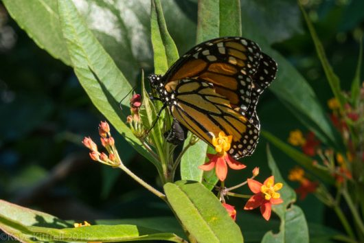 plant flowers, attract beneficial insects - Monarch