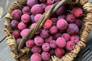 July Brings a Bounty of Plums!
