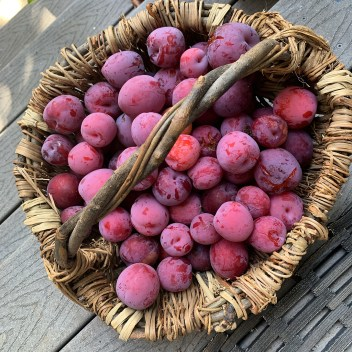 Kaye's plum harvest