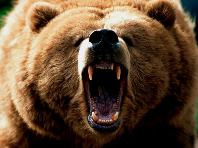 Risultati immagini per orso bruno attacco