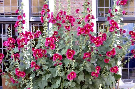 roses trémières3