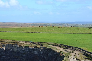 Cattle graze near the Cliffs of Moher, separated from the danger by a rock wall.