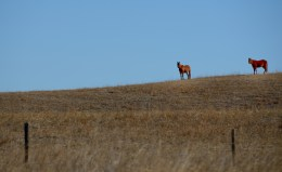 Horses on a ranch in the sandhill region of west central Nebraska