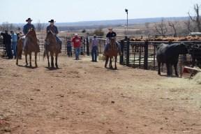 Cowboys herding a steer in western Oklahoma