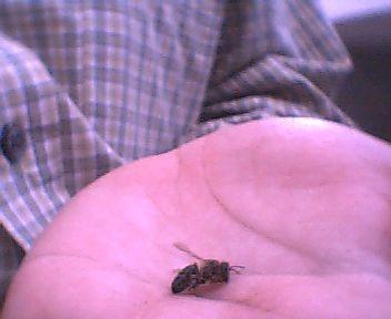 abeille-morte