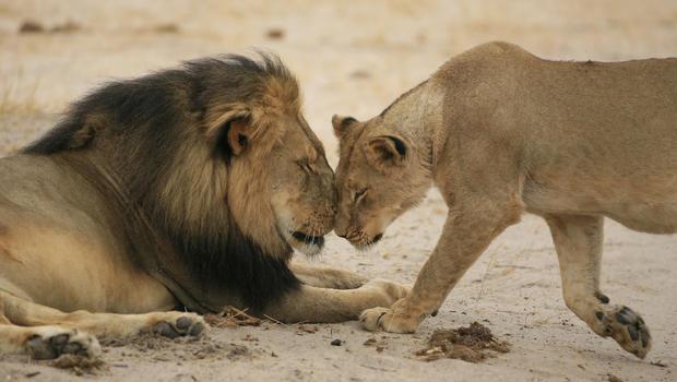 cecil-et-une-lionne