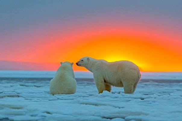 ours-blanc-coucher-de-soleil3