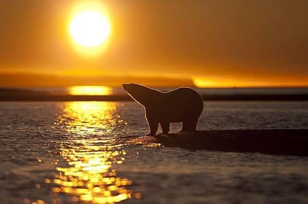 ours-blanc-coucher-de-soleil4