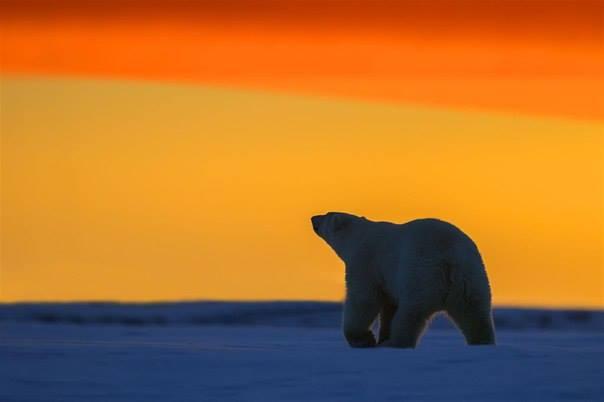 ours-blanc-coucher-de-soleil6