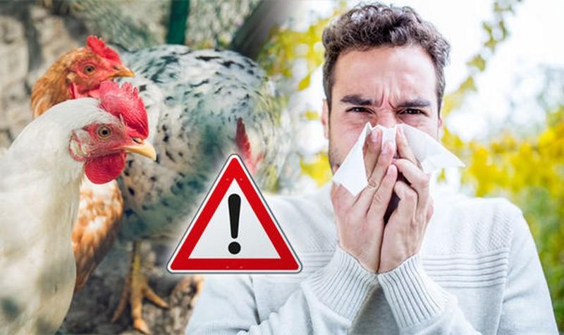 poulet-ogm-contre-la-grippe