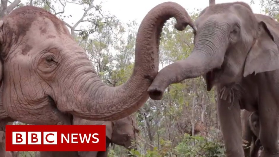 Elephants flee to outlive coronavirus hunger – BBC Information