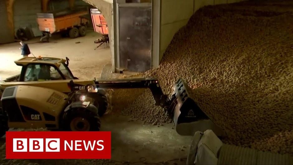 Coronavirus: Potato mountains and rotten cheese – BBC Information