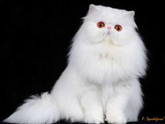 persiano-gatto-latina-vincitore-concorso