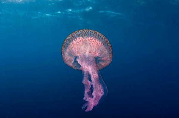 meduse-latina-mare-678972