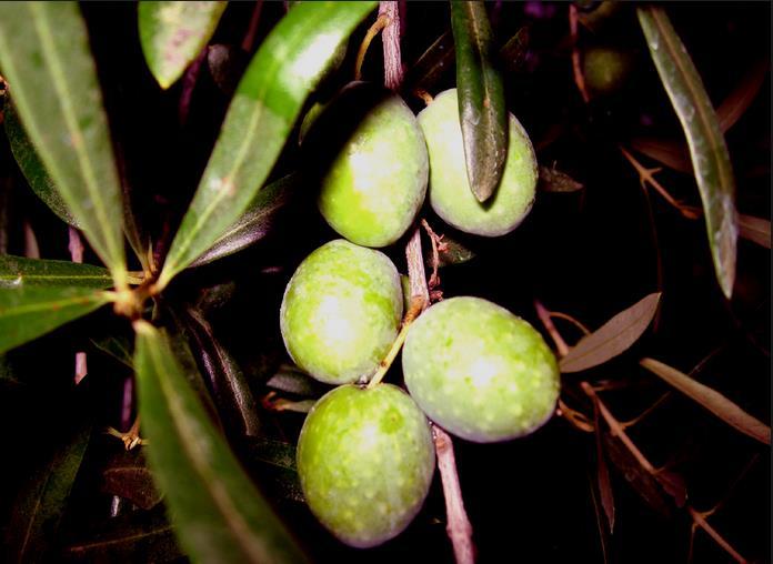 olive-itri-latina-24ore