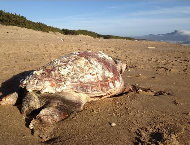 tartaruga-spiaggia-sabaudia