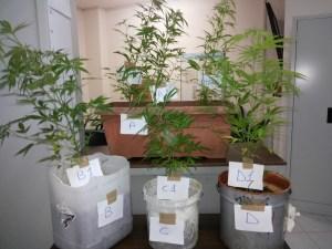 piante marijuana formia