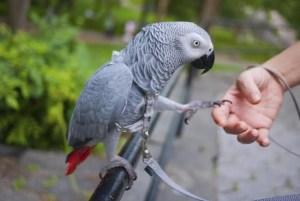 cenerino-coda-rossa