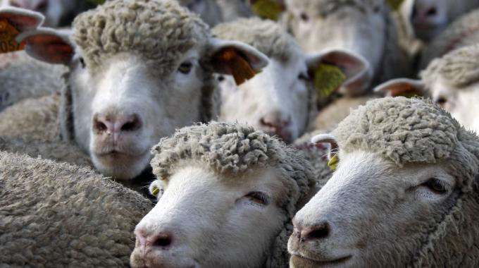 pecore-gregge