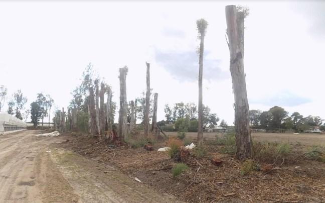alberi-tagliati-frangivento