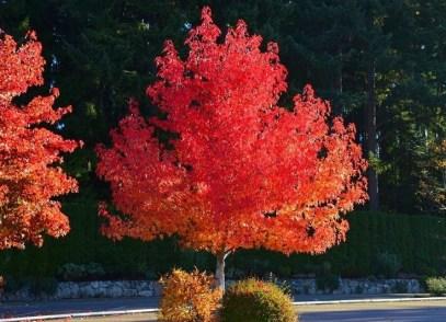 Il tipo di albero scelto: Storace americano