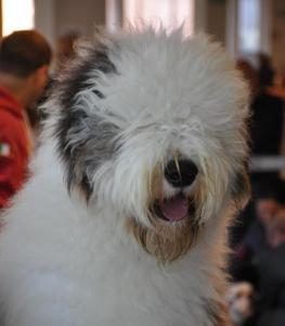 concorso-bellezza-cani-latina-8