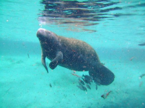 Travel bucket list - swimming with manatees