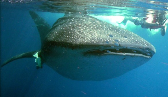 swim with whale sharks Holbox