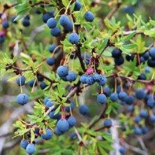 El Calafate Berries in Argentina Patagonia region