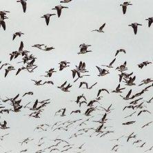 Kammerslusen-migrating-birds_©Lars Roed