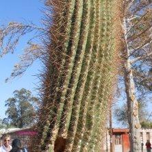 cactus usato per adobe