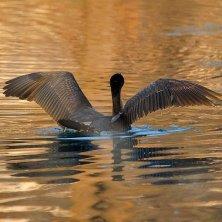 cormorano nel lago