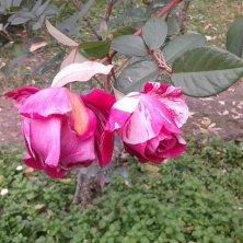 rose in boccio