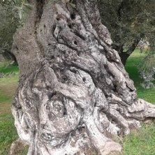 tronco di un ulivo secolare