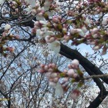 boccioli sakura