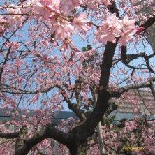 ciliegio a Hiroshima