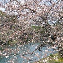 ciliegio davanti al palazzo imperiale a Tokyo