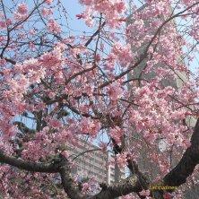 fioritura a Hiroshima