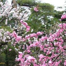 fioritura pruno e ciliegio