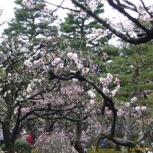 sakura in fiore