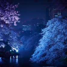 Tokyo hanami_fioritura ciliegi notturna
