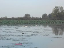 cigni sul fiume