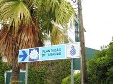 piantagione ananas
