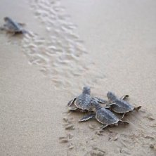 Baby turtles at Ras Al Jinz Turtle reserve, Oman