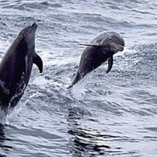 Dolphins popping out of the sea, Oman